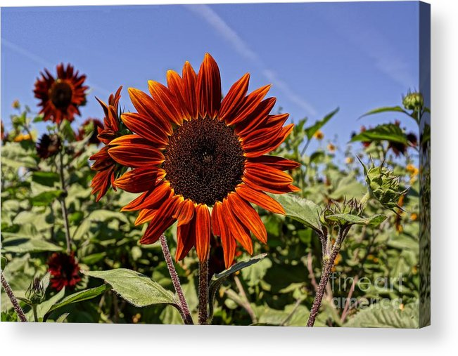 Agriculture Acrylic Print featuring the photograph Sunflower Sky by Kerri Mortenson
