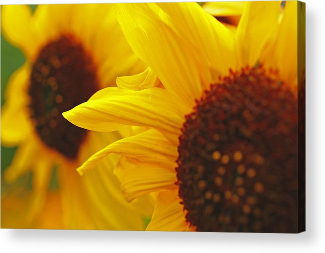 Blurred Acrylic Print featuring the photograph Sunflower Yellow by Greg Brown