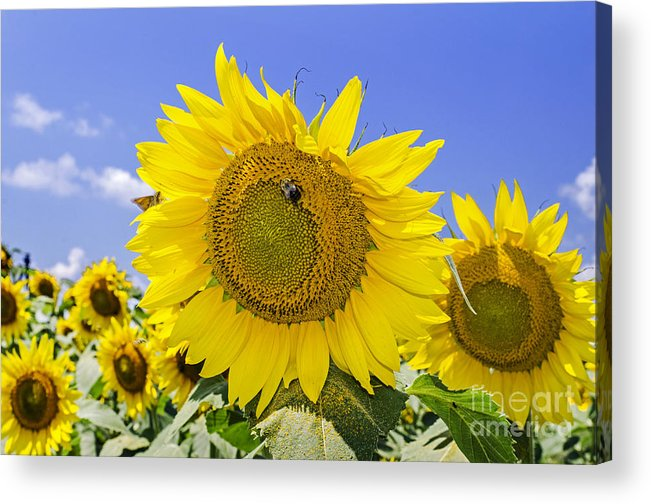 Sunflower Acrylic Print featuring the photograph Sunflowers And Blue Sky by Paul Mashburn