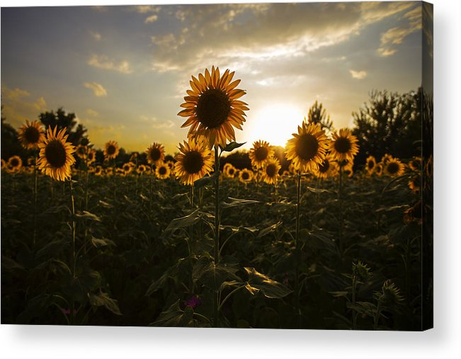 Sunflower Acrylic Print featuring the photograph Sunflowers At Sunset by Lin Hai