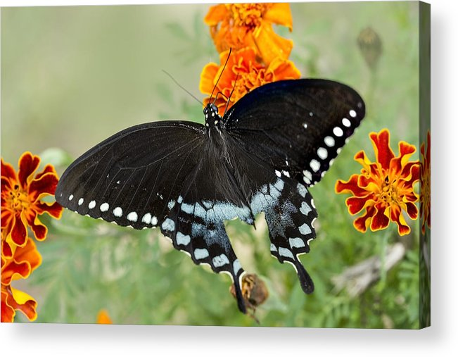Swallowtail Acrylic Print featuring the photograph Swallowtail Butterfly With Marigolds by Janice Carter