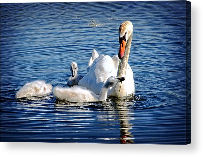 Swan Acrylic Print featuring the photograph Swan Mom And Cyngets by Cheryl Cencich
