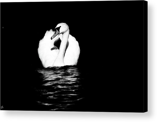Swan Acrylic Print featuring the photograph Swan White On Black by Karol Livote