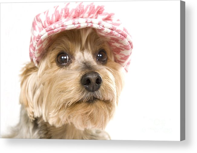 Vertical Acrylic Print featuring the photograph Swett Yorkie Face by Jan Tyler