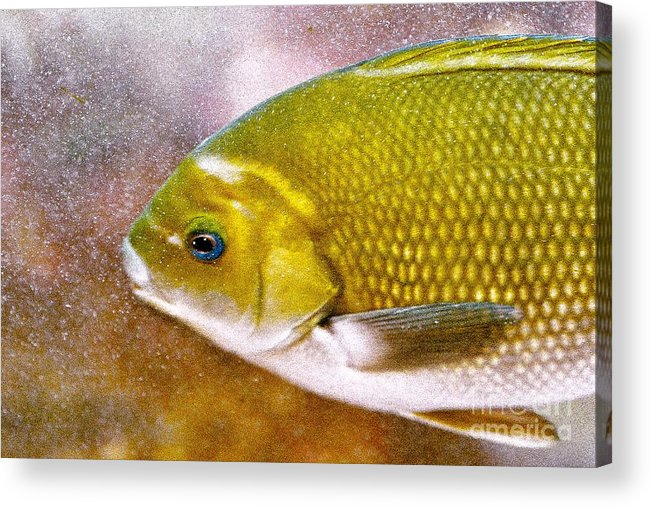 Fish Picture Acrylic Print featuring the photograph Swimming Fish by Artist and Photographer Laura Wrede