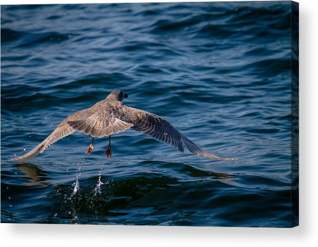 Ocean Pacific North West Bird Water Splash Wildlife Nature San Juan Island Friday Harbor Sailing Boat Acrylic Print featuring the photograph Take Off by Nate Parks