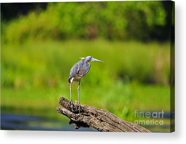 Heron Acrylic Print featuring the photograph Tantalizing Tricolored by Al Powell Photography USA