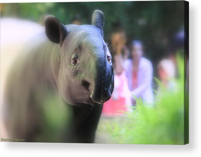 Tapir Acrylic Print featuring the photograph Tapir by Shannon Kringen