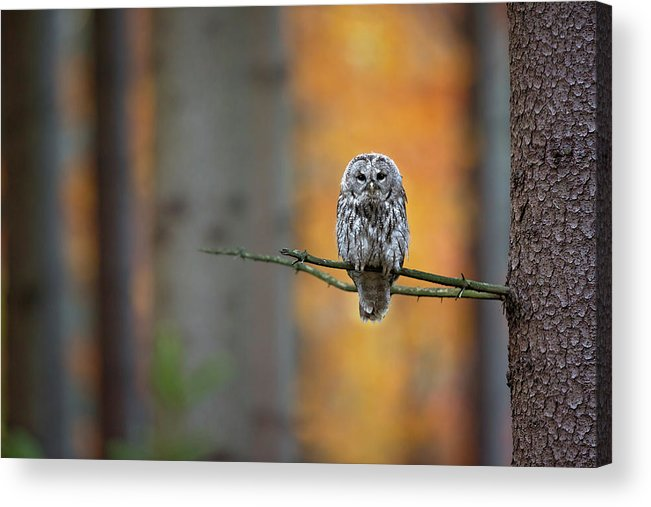 Owl Acrylic Print featuring the photograph Tawny Owl by Milan Zygmunt