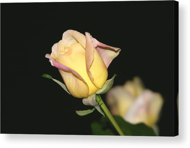 Yellow Rose Acrylic Print featuring the photograph Tender Rose by Dervent Wiltshire