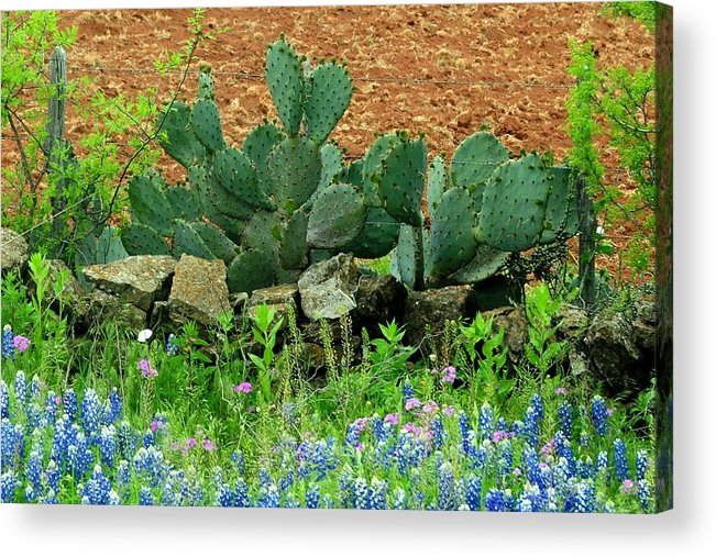 Texas Acrylic Print featuring the photograph Texas Bluebonnets And Cactus by Marilyn Burton