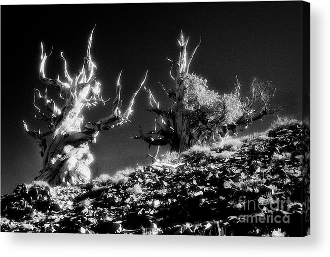 Ancient Bristlecone Pines Of California - - - This Image Is Available For Commercial Use License. File # Fir-n-1010 - - More Similar Images Of Mine Can Be Seen On My Web Site At Acrylic Print featuring the photograph The Ancients - 1001 by Paul W Faust - Impressions of Light