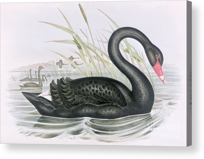 Black Swan Acrylic Print featuring the painting The Black Swan by John Gould