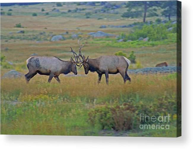 Elk Acrylic Print featuring the photograph The Challenge by Kelly Black