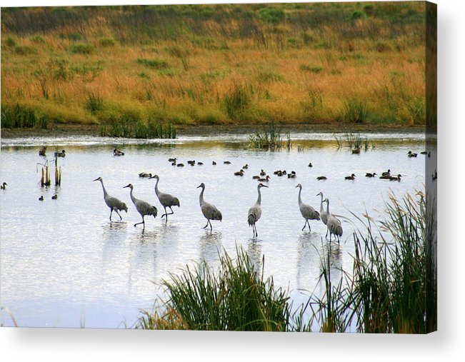 Nature Acrylic Print featuring the photograph The Dance Of The Sandhill Cranes by Kay Novy