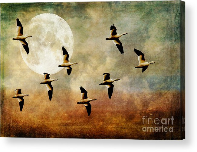 Geese Acrylic Print featuring the photograph The Flight Of The Snow Geese by Lois Bryan