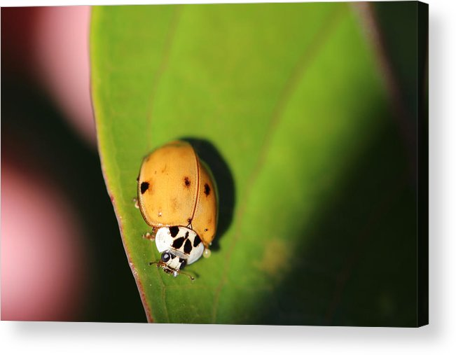 Lady Bug Acrylic Print featuring the photograph The Lady Bug by Matt Faris