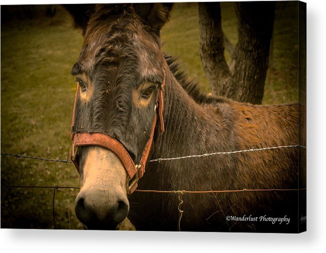 Lonely Acrylic Print featuring the photograph The Lonely Jackass by Paul Herrmann