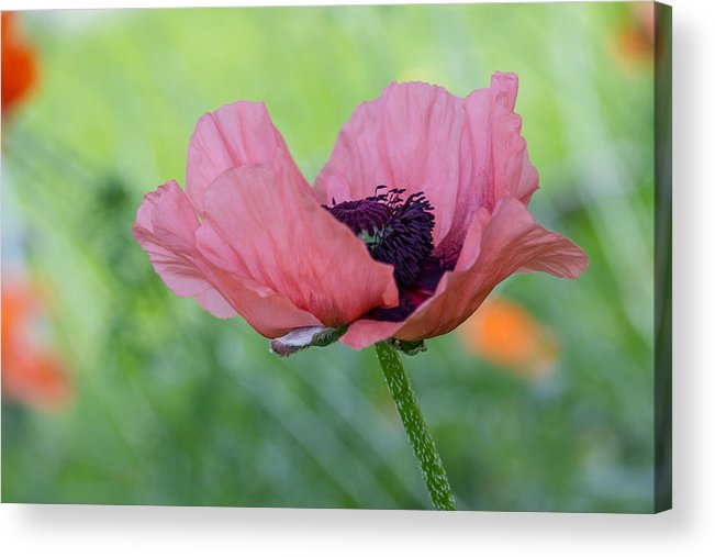 Poppy Acrylic Print featuring the photograph The One And Only Pink Poppy by Ness Welham