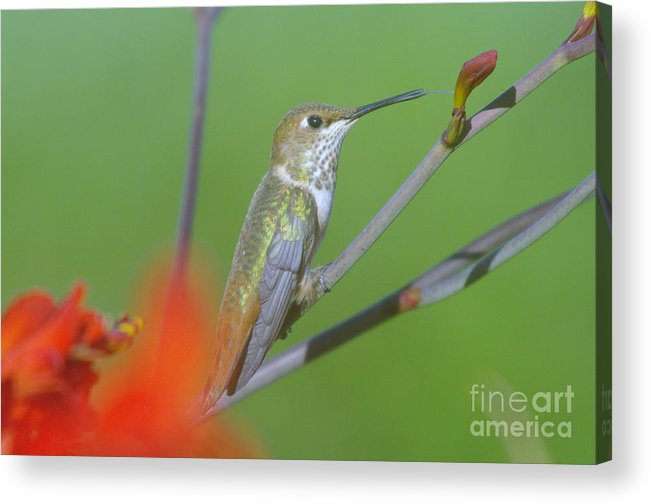 Tongue Acrylic Print featuring the photograph The Tongue Of A Humming Bird by Jeff Swan