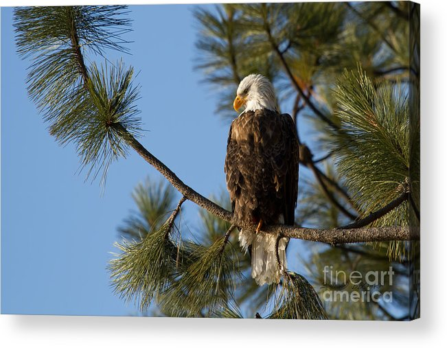 Bald Eagle Acrylic Print featuring the photograph The Watchman by Beve Brown-Clark Photography