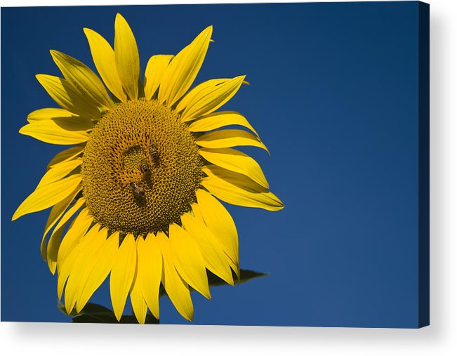 3scape Photos Acrylic Print featuring the photograph Three Bees And A Sunflower by Adam Romanowicz
