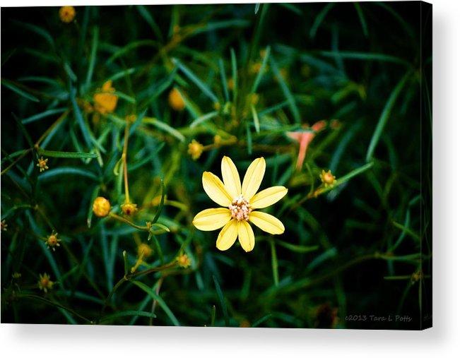 Wildflower Acrylic Print featuring the photograph Tiny Wildflower by Tara Potts