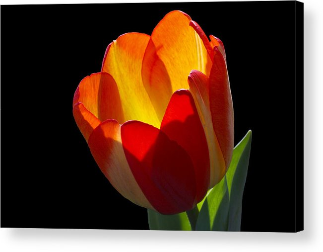 Tulip Acrylic Print featuring the photograph Tippy by Doug Norkum