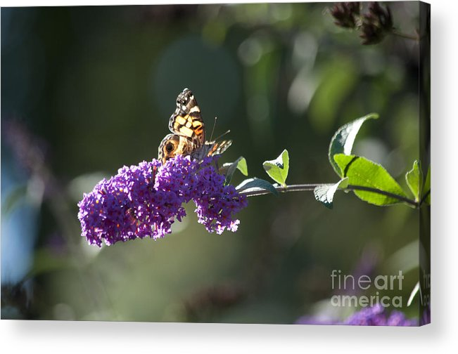 Butterfly Acrylic Print featuring the photograph Touchdown by Affini Woodley