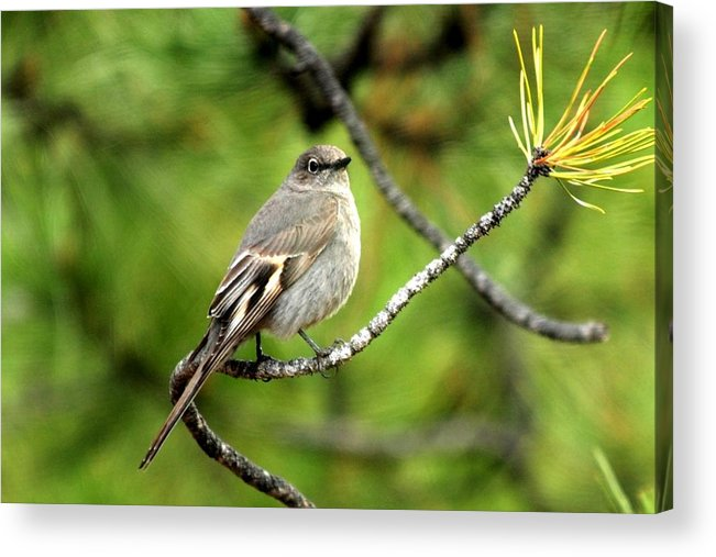 Colorado Acrylic Print featuring the photograph Townsend's Solitaire by Marilyn Burton
