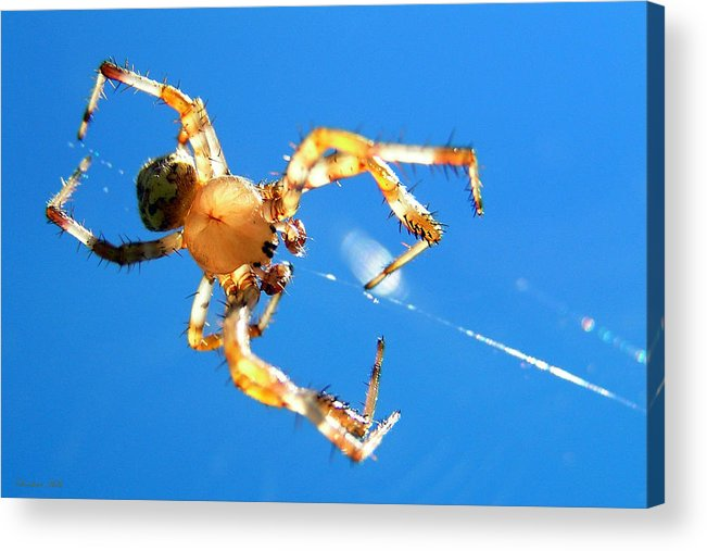 Trapeze Acrylic Print featuring the photograph Trapeze Spider by Christina Rollo