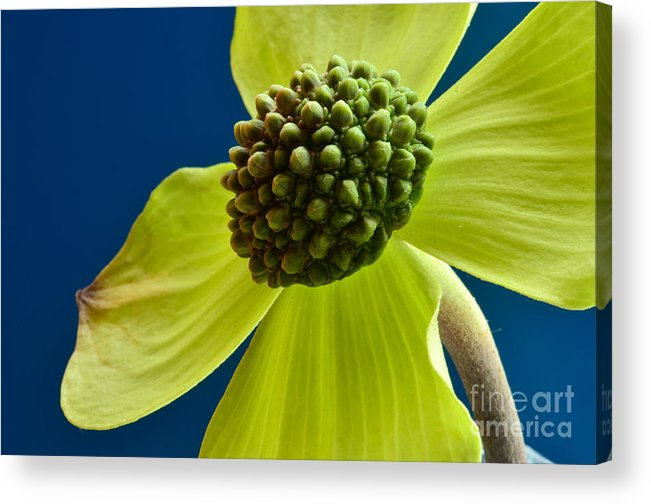Macro Acrylic Print featuring the photograph Tree Flower II by Ben Baucum
