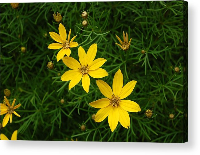 Coreopsis Acrylic Print featuring the photograph Trio Of Yellow Flower Blossoms by Sharon L Stacy