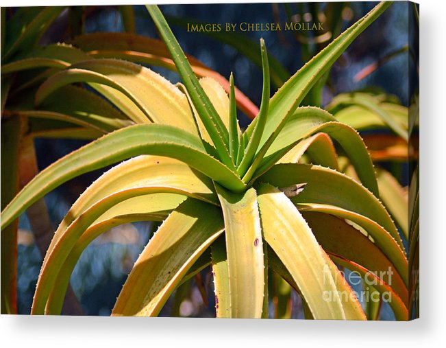 Cactus Acrylic Print featuring the photograph Tropical Cactus by Chelsea Mollak