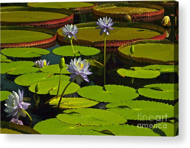 Tropical Water Lily Flowers And Pads Acrylic Print