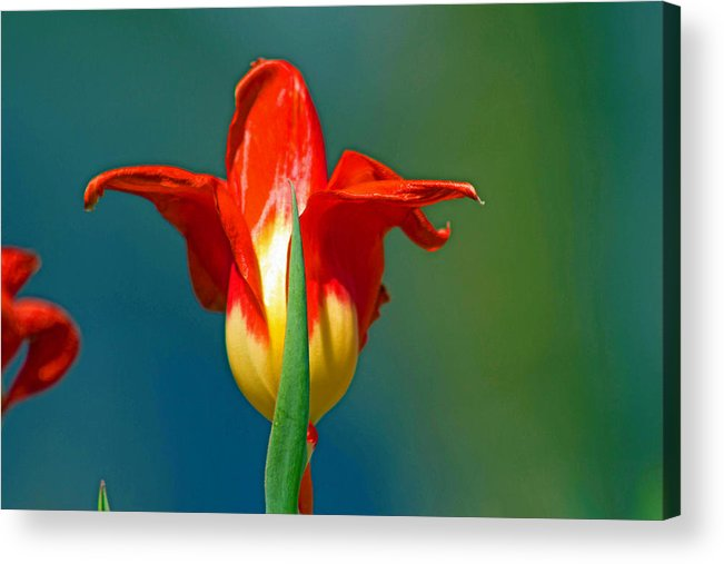 Yellow Acrylic Print featuring the photograph Tulip 5 by Howard Tenke