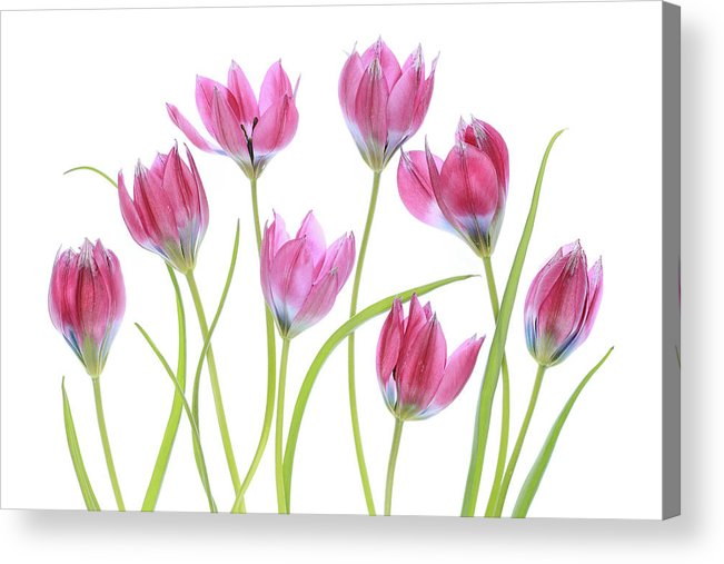 Tulip Acrylic Print featuring the photograph Tulip Blush by Mandy Disher