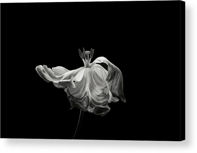 Tulip Acrylic Print featuring the photograph Tulip by Lotte Gr?nkj?r