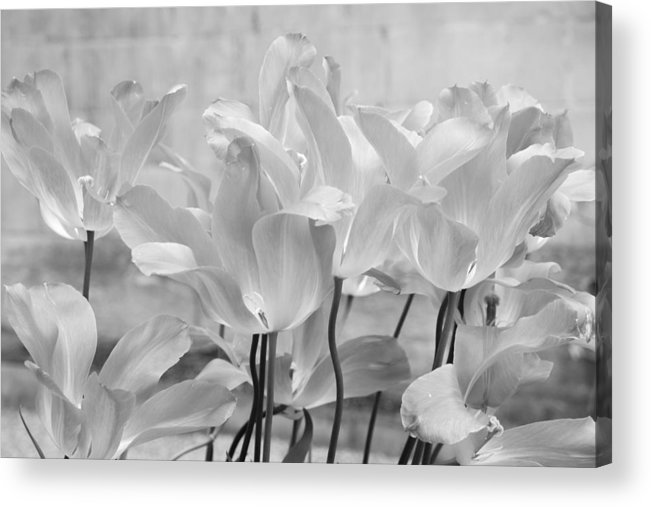 Black And White Acrylic Print featuring the photograph Tulips Oxford by Gerry Walden