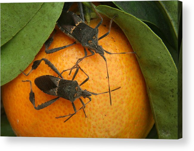 Leaf Footed Bug Acrylic Print featuring the photograph Two Leaf Footed Bugs On An Orange by Robert Hamm