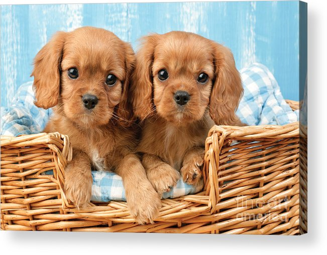 Cavalier Acrylic Print featuring the digital art Two Puppies In Woven Basket Dp709 by Greg Cuddiford