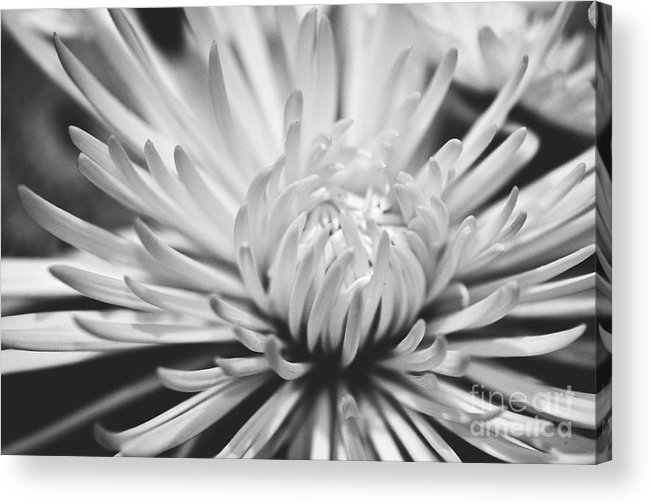 Flower Picture Acrylic Print featuring the photograph Unfolding by Artist and Photographer Laura Wrede