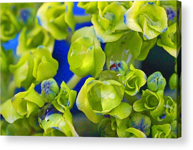 Style Acrylic Print featuring the photograph Very Young Hydrangea by Mark Tsemak