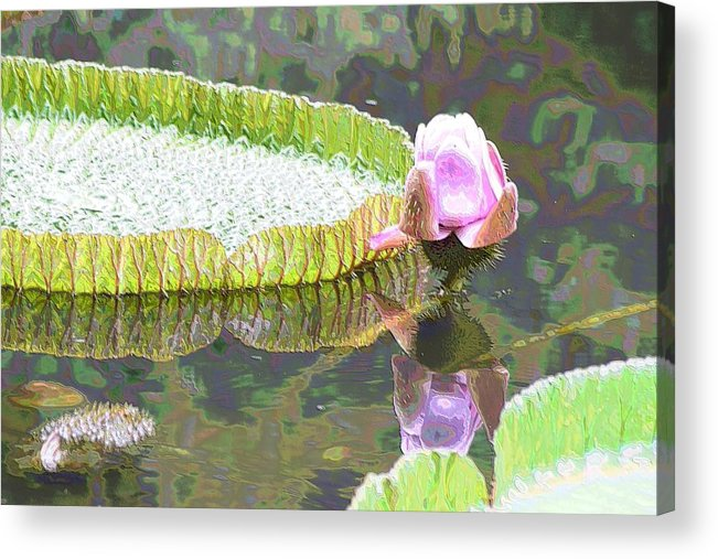 Victoria Lily Acrylic Print featuring the photograph Victoria Lily Bloom 2 by Sheri McLeroy