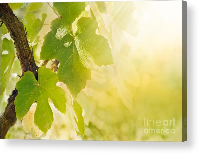Juicy Acrylic Print featuring the photograph Vine Leaf by Mythja Photography