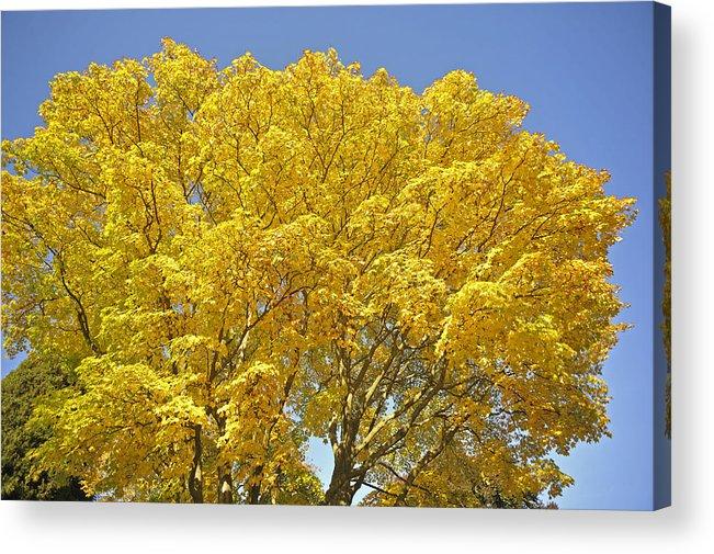 Vine Maple Acer Circinatum In Autumn Stanley Park Vancouver