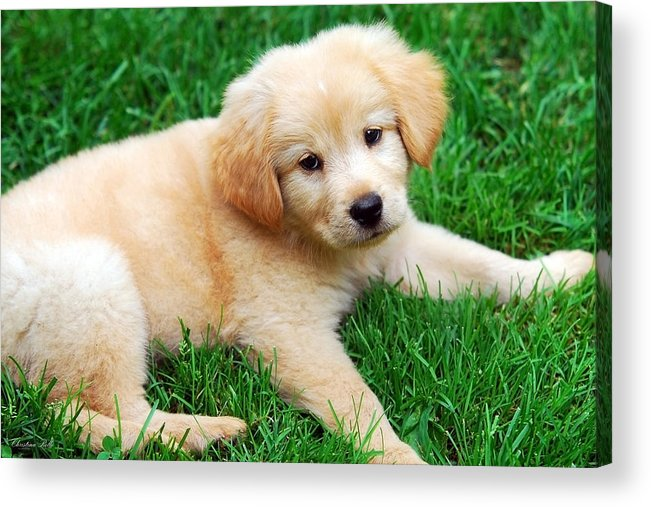 Dog Acrylic Print featuring the photograph Warm Fuzzy Puppy by Christina Rollo