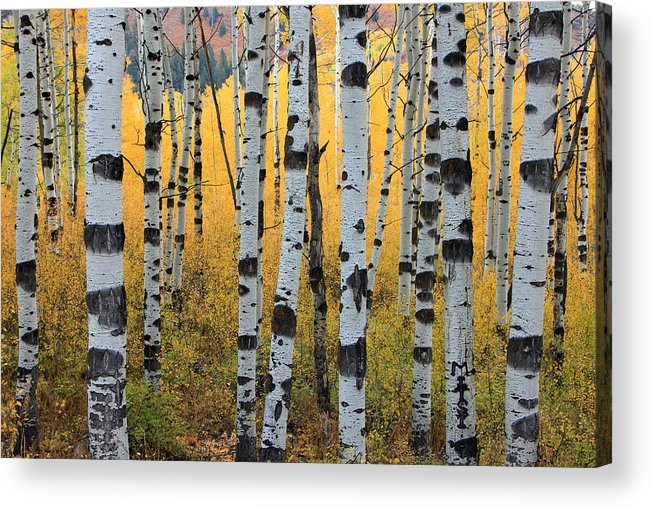 Aspens Acrylic Print featuring the photograph Wasatch Aspens by Johnny Adolphson