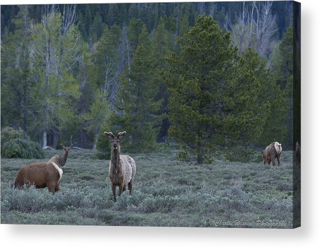 Pronghorn Acrylic Print featuring the photograph Watchful by Charles Warren