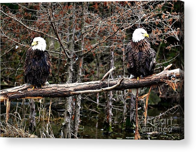 Bald Eagles Acrylic Print featuring the photograph Watchful Eyes by Elizabeth Winter